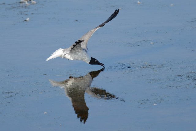 Mouette atricille / Laughing Gull