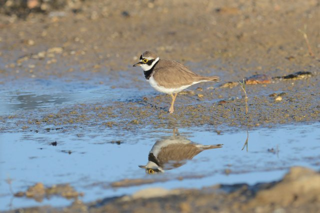 Petit gravelot / Little Ringed Plover